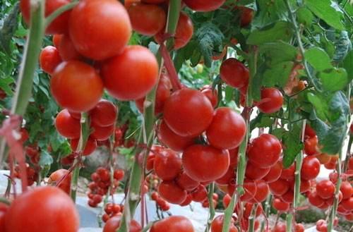 西红柿枯萎病危害大?识别症状是基础,及早防治很关键