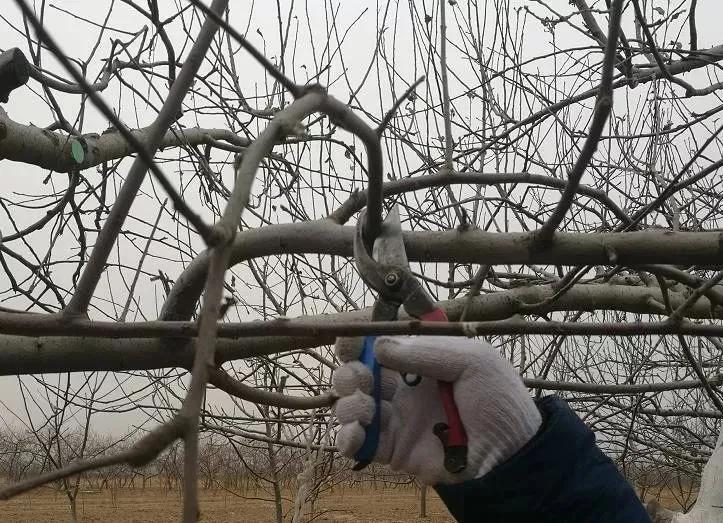 「科普」苹果冬季修剪这几类枝必须下岗