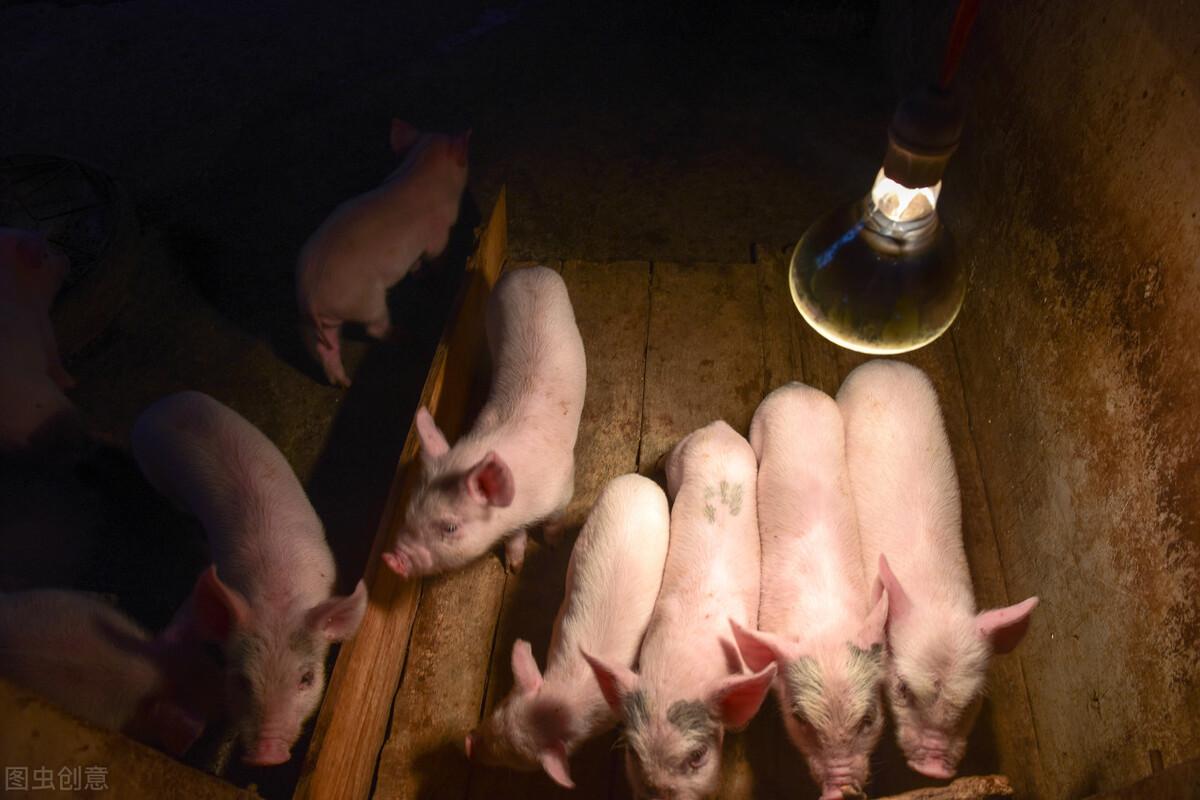 百元猪崽,6元猪价,10元肉价,养猪和卖肉的都在亏那谁在赚?