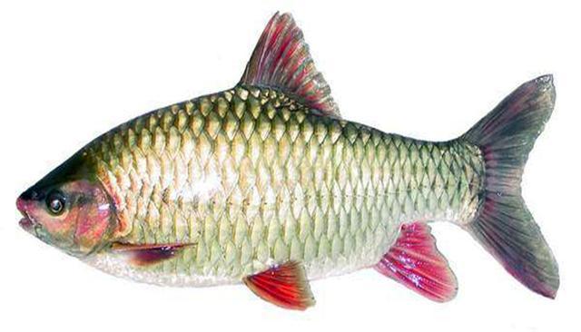 经常有人把它错认为军鱼,详细解析:深水潭中最美鲤科类--青竹鱼