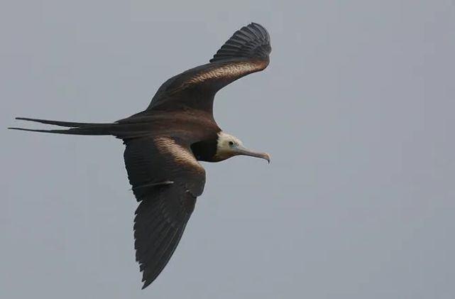 世界上续航最强的鸟,连飞60天不休息,即使睡着了还在飞