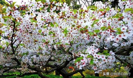 春暖花开阴霾散,清明赏樱登泰山。