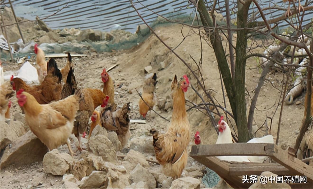 高脚鸡养殖技术
