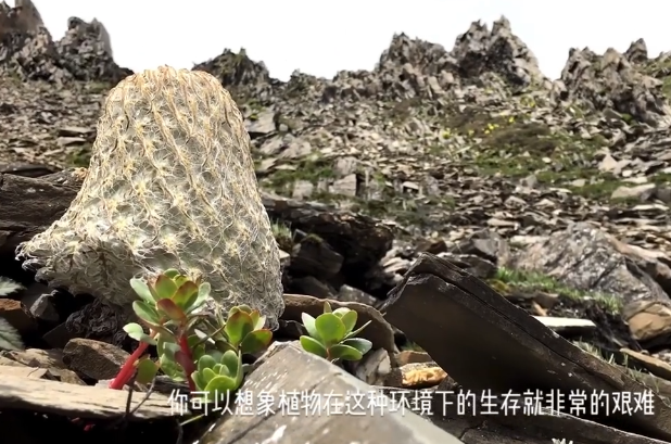 《极限挑战》严重失误,将国家二级保护植物当道具,节目组已致歉