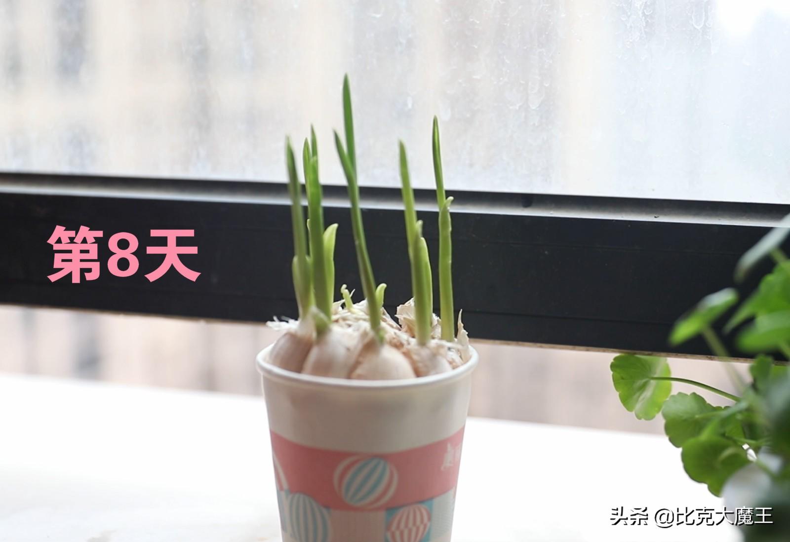一次性纸杯里放一颗大蒜,摆在阳台作用太棒了,家里人都喜欢