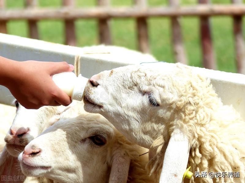 羊应该怎么养(怎样养羊长得快)