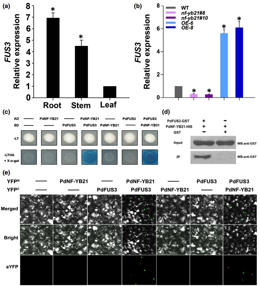 项目文章 | New Phytol:转录因子 PdNF-YB21 参与毛果杨干旱响应