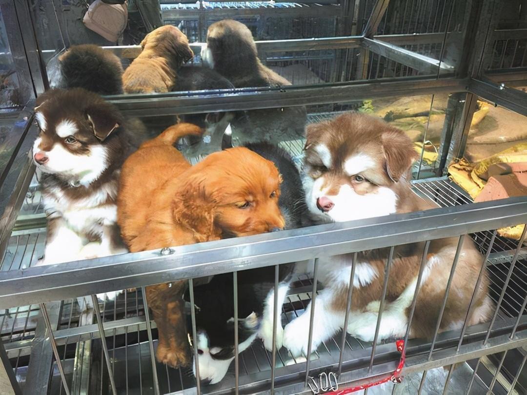 买狗时,你挑了这6种狗,宠物店老板会偷笑