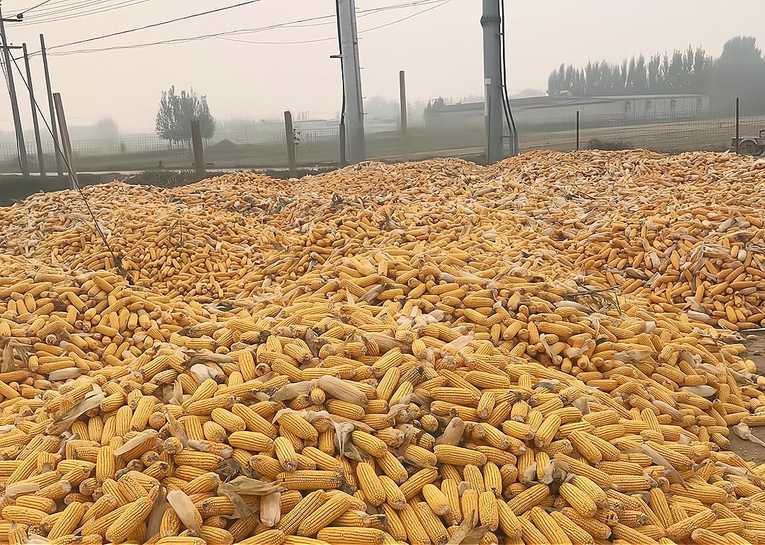 """""""下行潮""""来了!玉米、小麦、大豆集体下跌,粮价会""""崩盘""""?"""