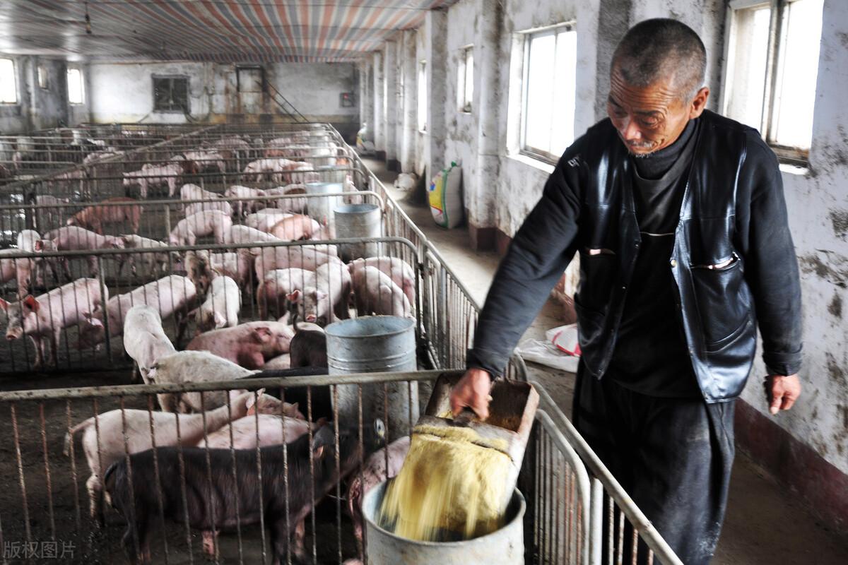 """猪价近期为何大跌?散养户要成为""""养猪烈士""""吗?还能不能反转?"""