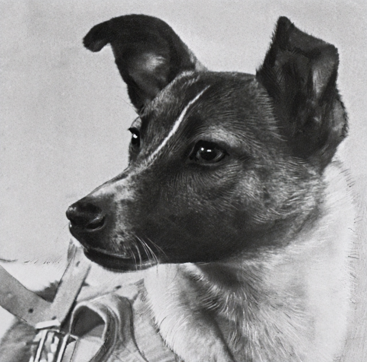 第一只进入太空的狗,在宇宙飘了63年,人类为何要毒死它