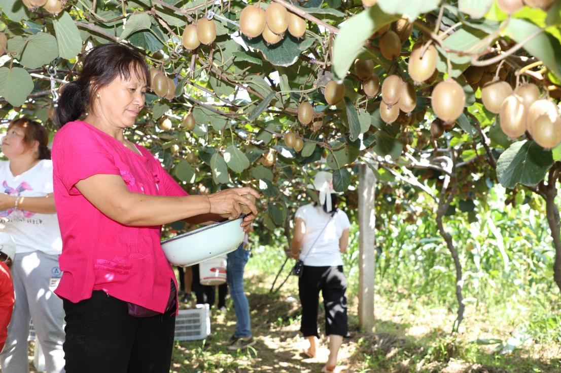 陕西周至:翠香猕猴桃上市正当时