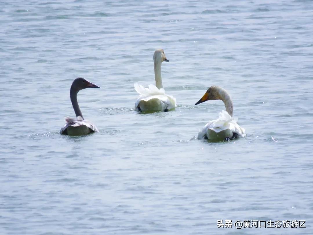 【黄河口生态旅游区】观鸟秘境 冬之舞曲