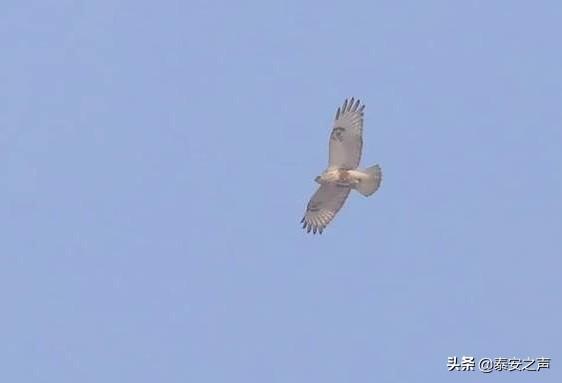 泰山发现鸟类新纪录种——毛脚鵟(kuáng)