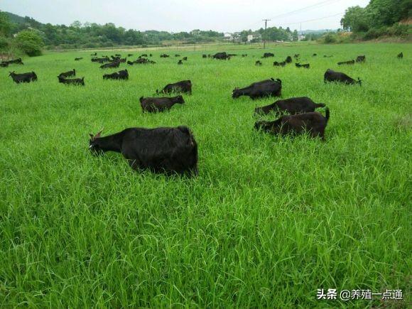种草养羊八要点,因时因地选草种,匹配规模舍饲效益好