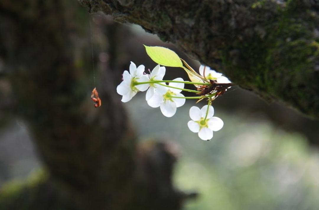 梨花绽放为春来,10首梨花的诗词,在这个美好的季节送给你