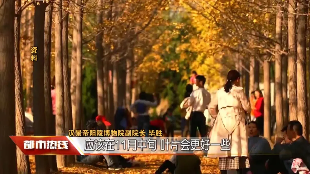 张张大片!西安周边这个银杏林秋景绝美,错过要再等一年!