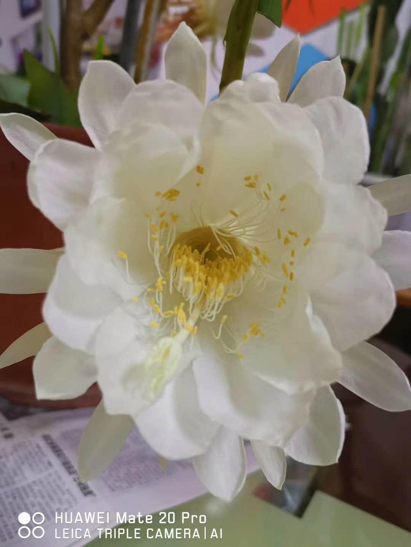 惊艳!仪征一株昙花树一夜盛开5朵花
