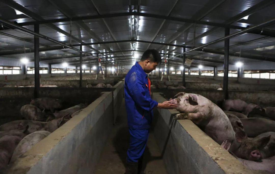 猪价高企,散户养猪为何仍在观望?