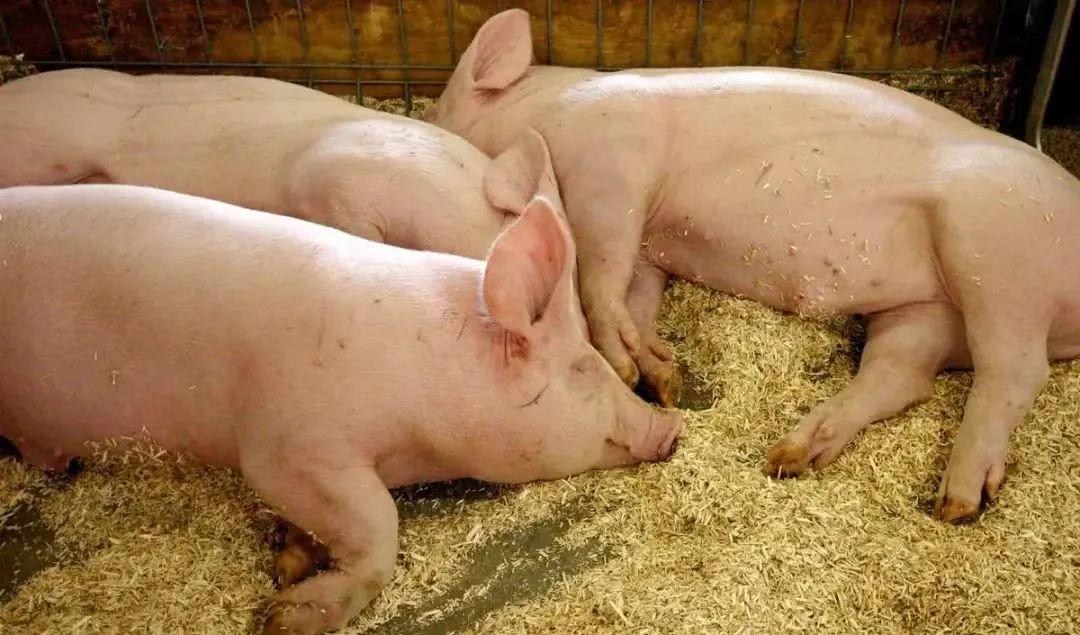 非瘟帶來的養豬變革或近尾聲!養豬業進入內卷時代,未來豬企要尋求兩大突破