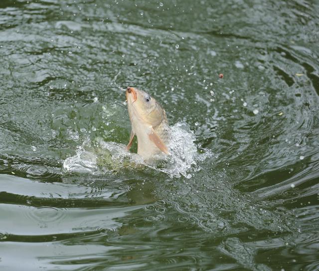 如何保證精養池塘充足的溶解氧?水質管理日常工作怎么做?