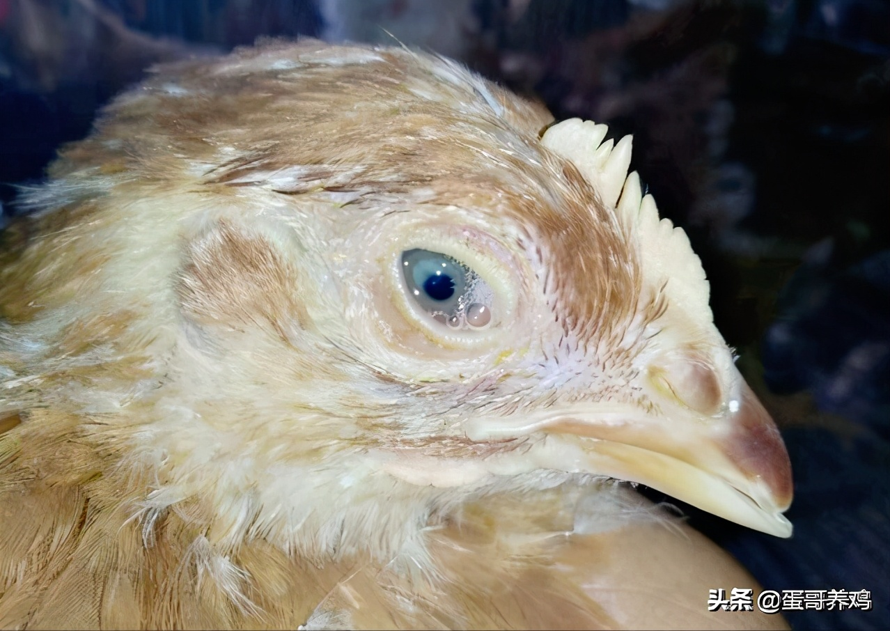 """老獸醫傳授""""麻黃魚腥草散""""在養殖場的4個用法,農村養雞人收藏"""