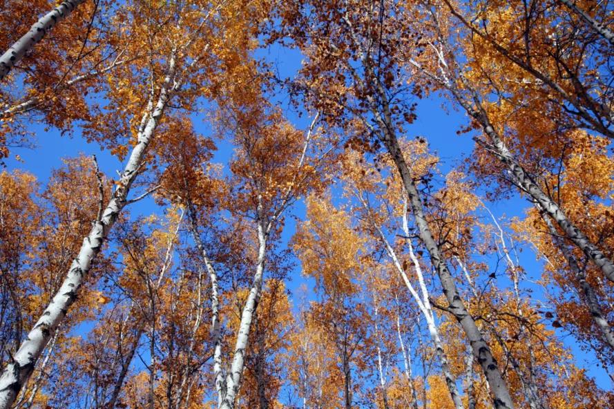 呼伦贝尔网红打卡地:额尔古纳白桦林