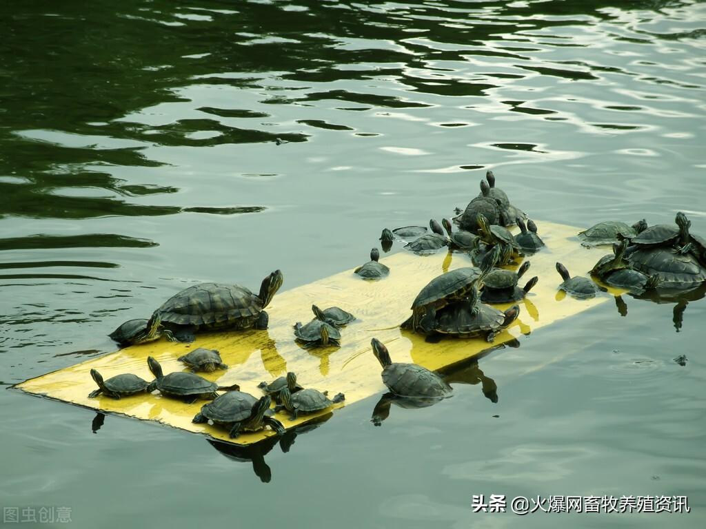 巴西龟如何分公母如何看多少岁,巴西龟为什么不能放生