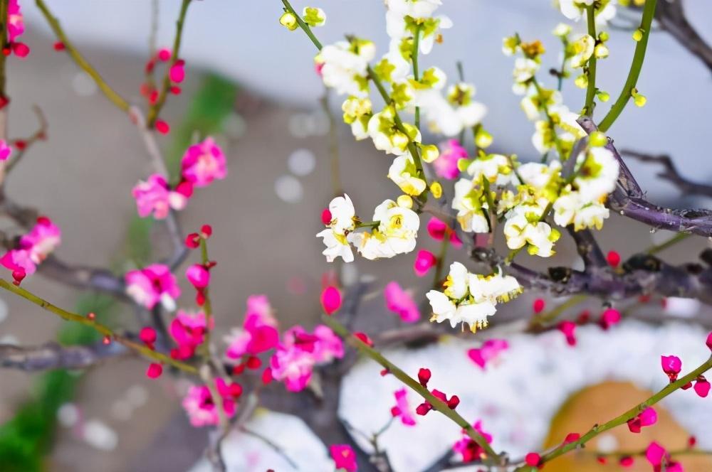 王安石写梅花的3首古诗,惊艳了千年,每一首都美到极致