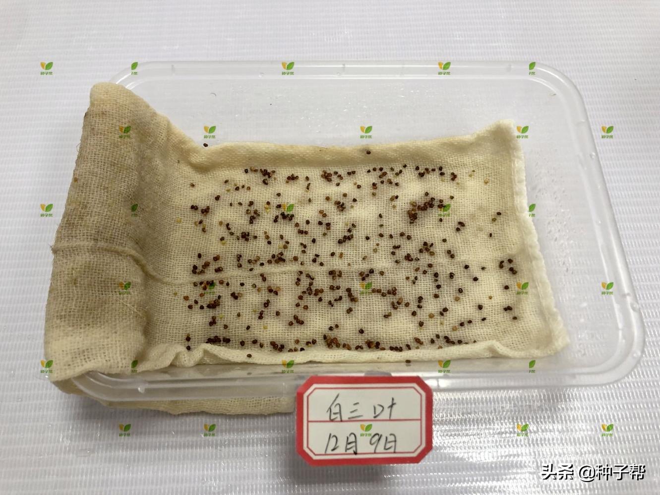 白三叶:绿化建植快,开花早,可利用7~10年,种子发芽测试