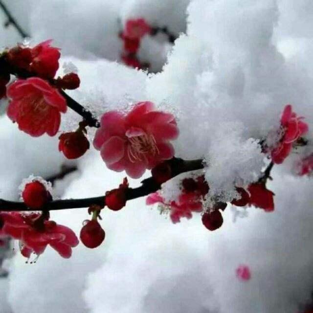 四君子是哪四种植物(梅兰竹菊的寓意和象征)
