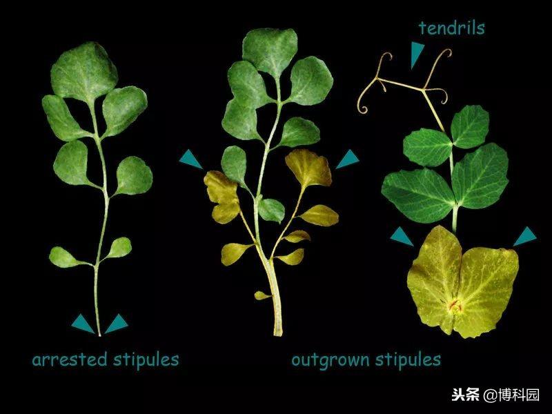 发现控制树叶生长和形状的蛋白质?