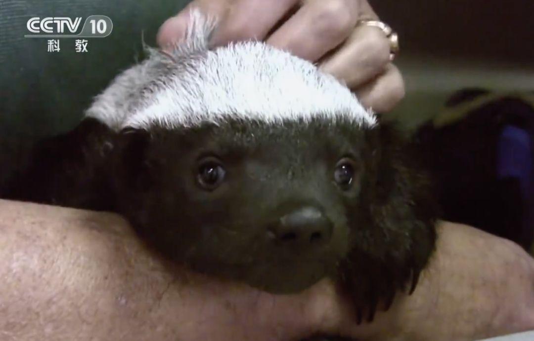 """平头哥""""是谁?什么来头?怎么就成了公司名字?——它就是蜜獾"""