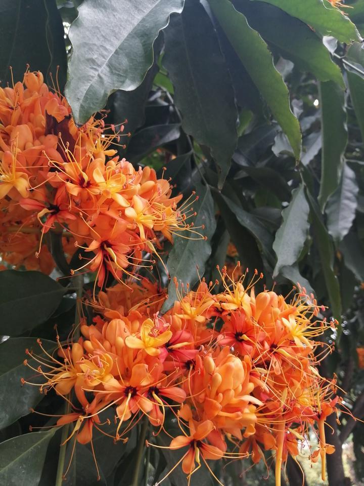 南宁这条路开满橙黄色的花,一丛丛像火焰一样,美得不像话