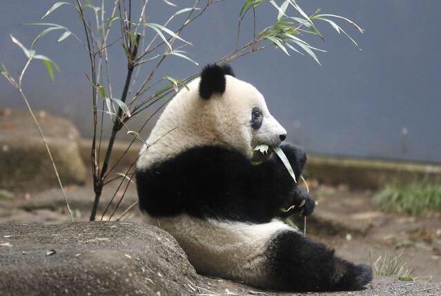 """""""香香""""即将归还中国,日本网友不舍:把安倍送到中国,熊猫留下!"""