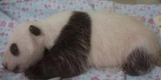 旅日大熊猫香香即将归还中国,日本民众:能不能延长一下