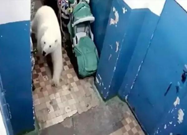 50 只北极熊入侵西伯利亚小镇,竟然饿到吃垃圾为生?