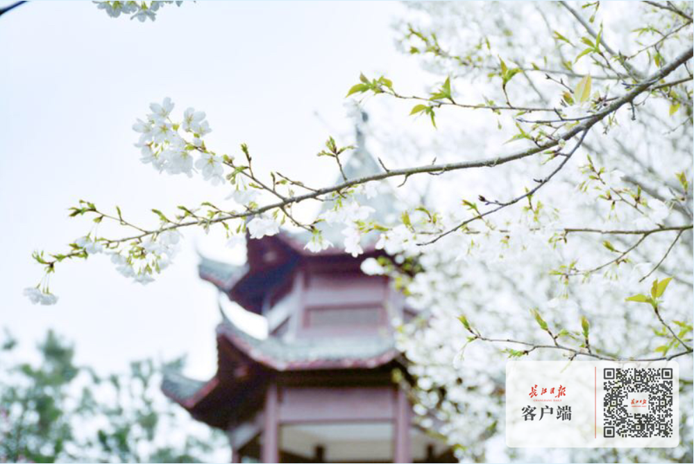 """从""""一花独放""""到全域赏花,长江日报邀您一起刷新""""武汉赏花图"""""""