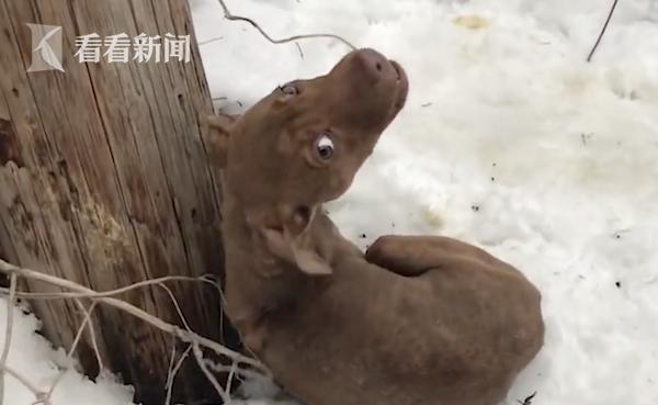 心疼!小狗浑身是伤被弃雪地中 见好心人靠近却惊恐哀嚎