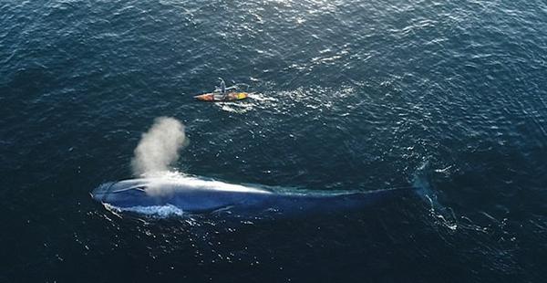 航拍划桨板者在美西海岸与蓝鲸同行唯美画面