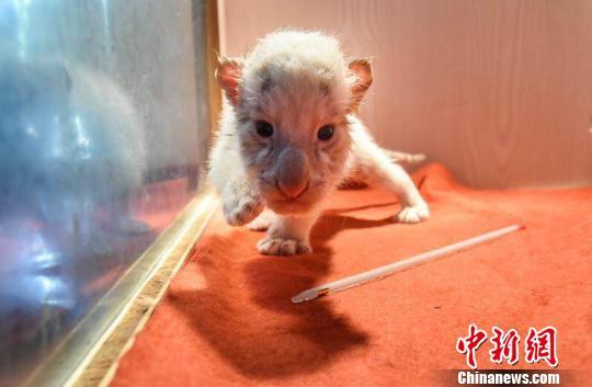 杭州野生动物世界首对金虎雪虎龙凤胎满月