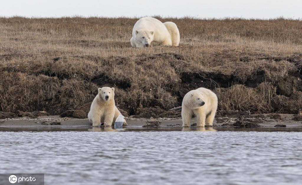 令人揪心!饥饿北极熊幼崽争抢塑料垃圾填饱肚子