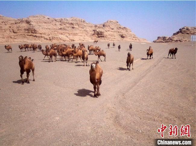 甘肃敦煌湿地频现大群野骆驼 濒危物种荒漠猫萌态亮相