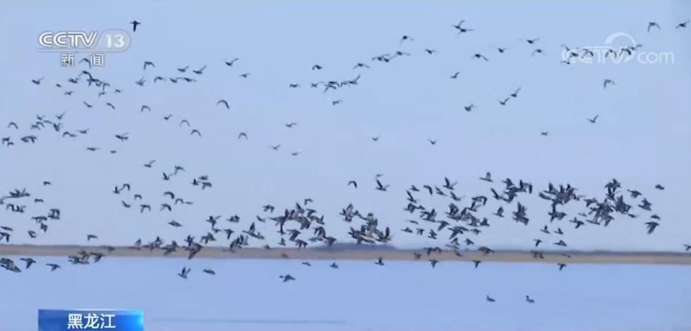冰雪消融 黑龙江迎来春季候鸟迁徙季