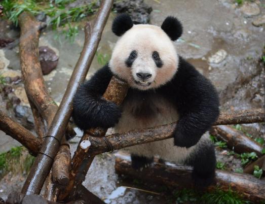 曾把华春莹逗乐的大熊猫香香将回中国 日方为它举办特别生日会