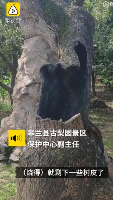 因小孩玩火引燃,407岁梨树被烧空心仍能结果,靠树皮吸收养分