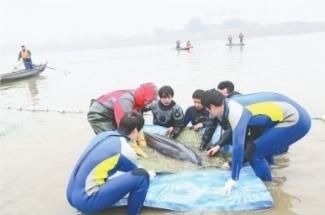 罕见!十多头江豚武汉城区江段戏水