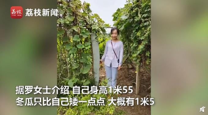 農戶種出1米5高冬瓜,只是普通種子,網友評論亮了