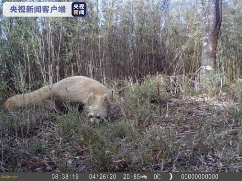 """四川美姑大风顶国家级自然保护区发现""""褪色""""小熊猫"""