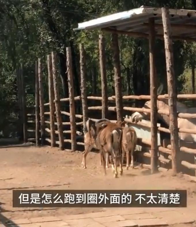羊群、土鸡和猪仔,临汾动物园用家禽凑数?园方回应